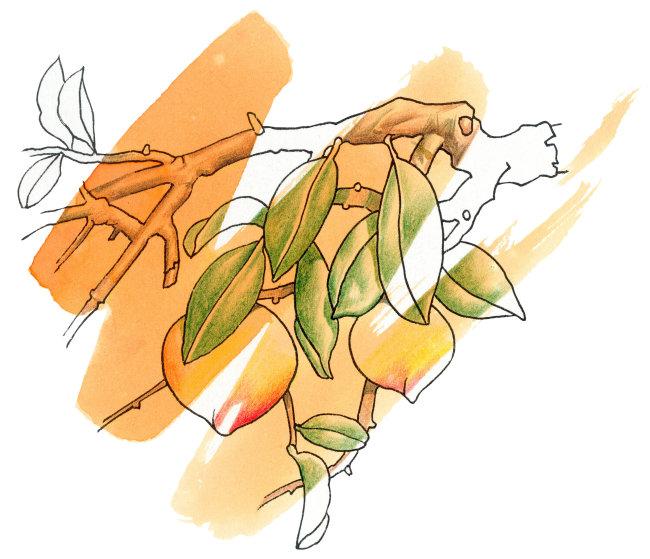 952 兆  桃子橙色背景插画 可爱水彩画 淡墨风格插画 水平构图
