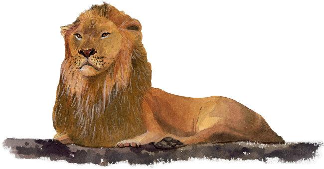 狮子 水彩动物插画