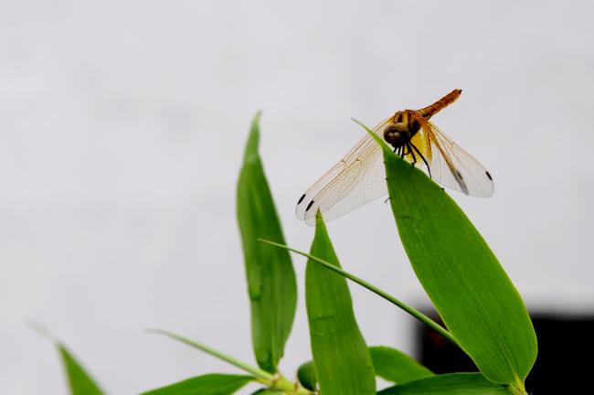用树叶做蜻蜓贴画
