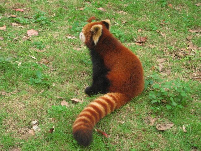 动物园 小熊猫