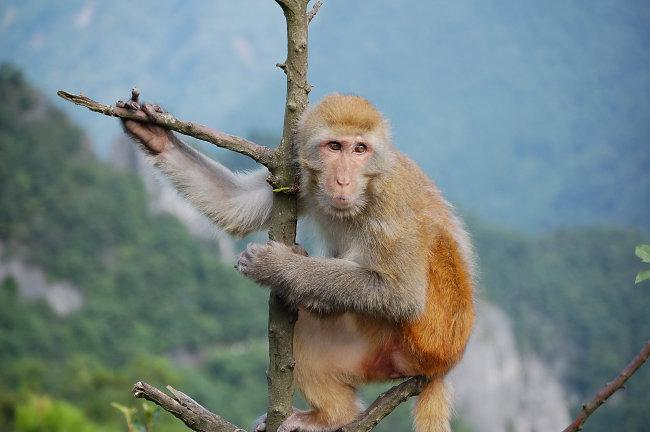 现在来看看这个《群猴像》。第一段是说,往下看都是笑脸。这不完全是写实,我们想像一下你是一只猴子,往下看的话,下面的猴子是不是都在对你笑,这很难说,这是夸张的。猴子也不一定真地想往高爬,个个都想往高处走,可能是以人之心度猴之腹。不过你往下看,看到的都是脸,这是事实。有人说,做官最大的好处就是大家对你笑,对你很恭敬。我没做过什么官,做来做去就是大学中文系的系主任,做了六年,去年刚不做。我自己的感受,中文系来来去去就十几二十个老师,几百个学生,做了主任大家都对你态度好像好一点,不知道是心理作用还怎么样;