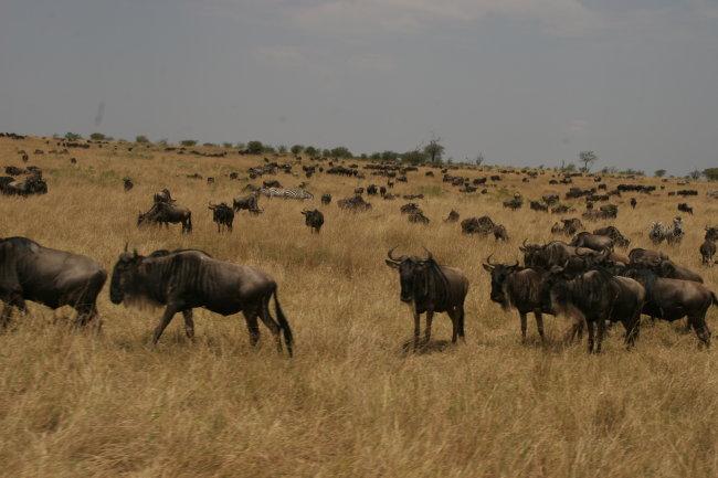 肯尼亚动物迁徙时间图片大全::东非野生动物大迁徙