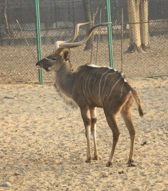 图片名称:动物羚羊