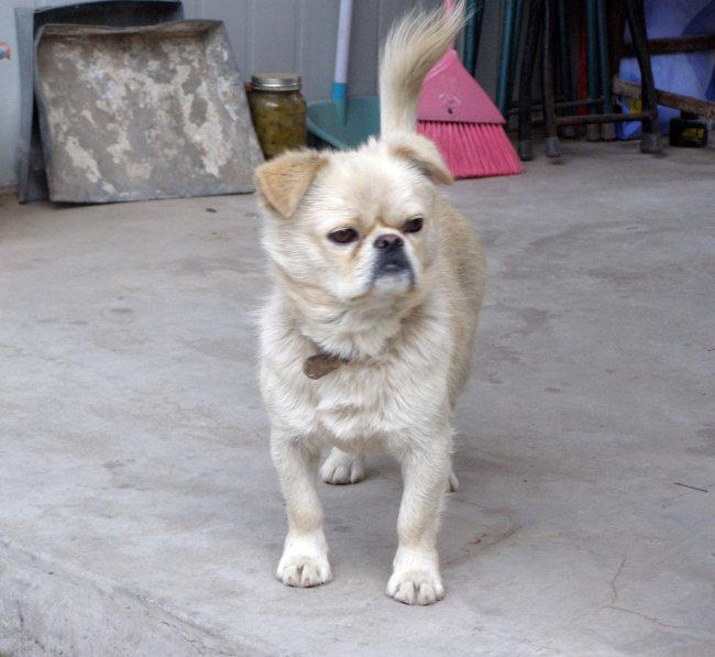 可爱的宠物狗