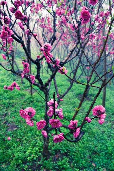 浪漫桃花开花的树; 春天开花的树;