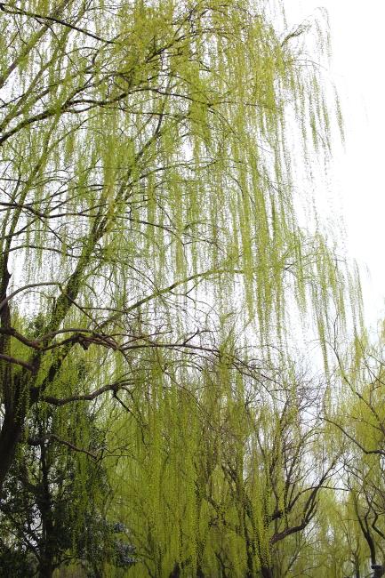 柳树 柳枝 柳树风景图片 柳树风景图片下载 柳树的图片 柳树叶 翠柳