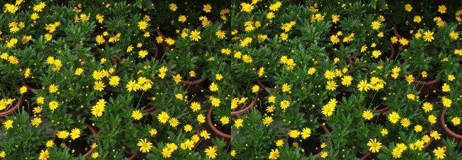 3d 立体 左右格式 菊花