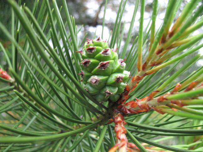 785 兆  植物 松树 松树叶 松针 松果 果实 绿色