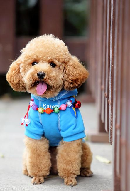 760 兆  狗 宠物 宠物狗 泰迪 贵宾 可爱 萌