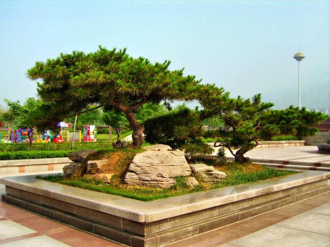 816 兆  盆景 大型盆景 青松 泰安 山东 动物植物 植物 树木 摄