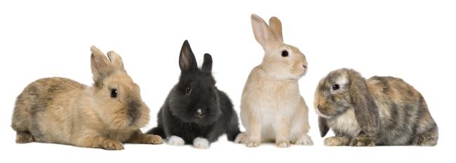 绘画动物图片小兔
