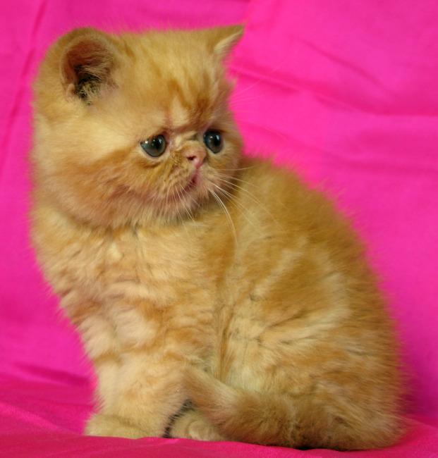宠物 猫 加菲猫