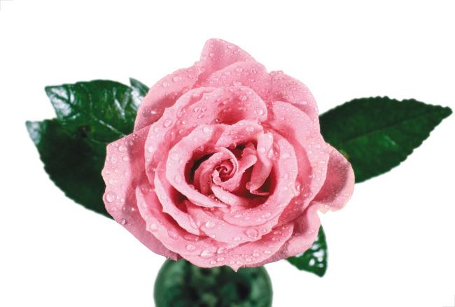 白底手绘玫瑰图片