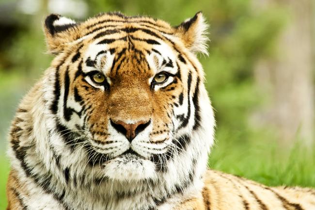 高清可爱老虎图片下载