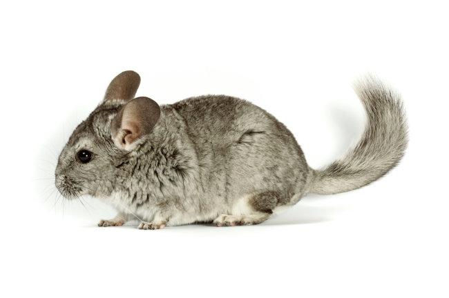可爱小老鼠图片下载