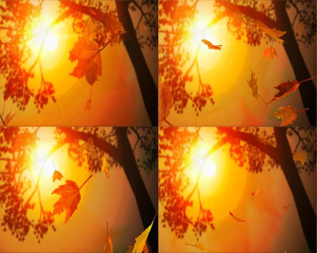 夕阳枫叶飘落效果动态素材