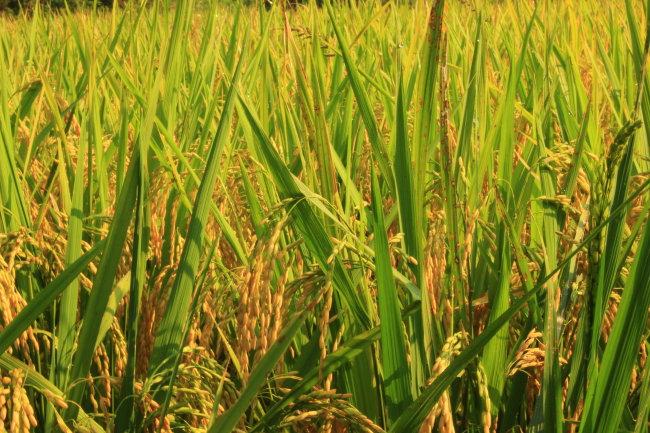 水稻 丰收