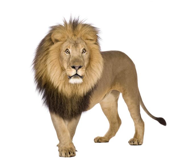 狮子图片素材图片