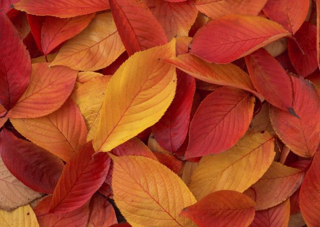 019 兆  树叶背景 落叶 枯叶 秋天的落叶 叶子
