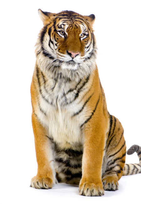 野生动物老虎图片