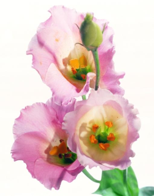 花枝 植物 玫瑰