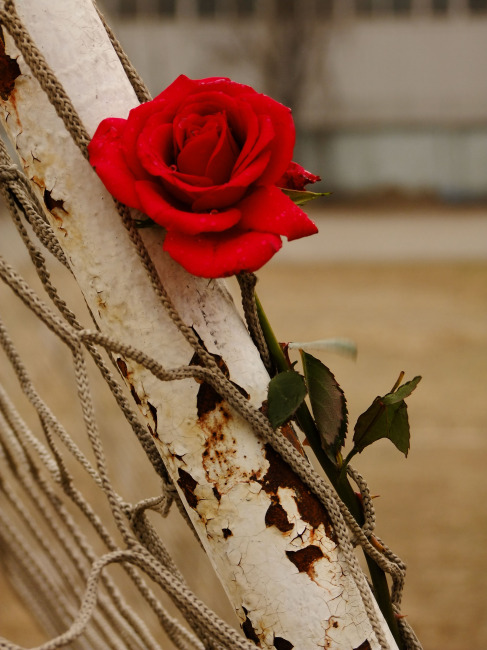 彩铅手绘玫瑰花 画法 图解展示