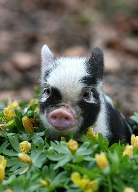 可爱动物头像猪