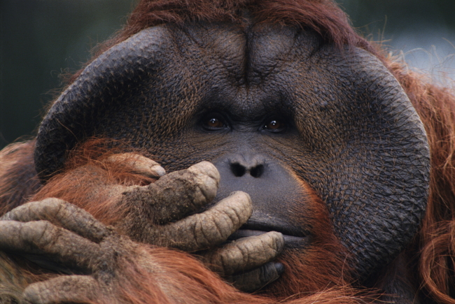 >动物世界 猩猩
