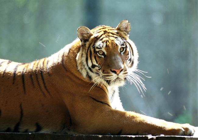 母老虎图片
