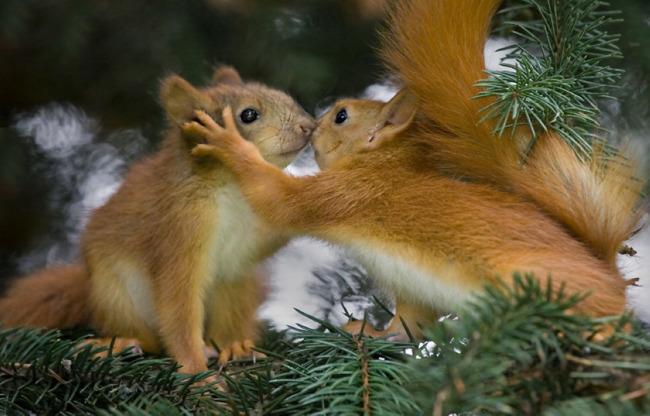 超萌动物图片 超可爱动物图片 高清 动物 两只相爱的松鼠 可爱 唯美