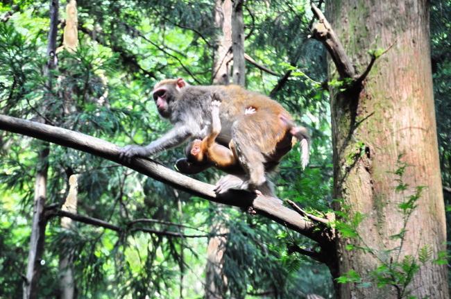 动物 野兽 野猴 野生动物 生物 机灵 灵性 生肖 保护动物 老猴 小猴