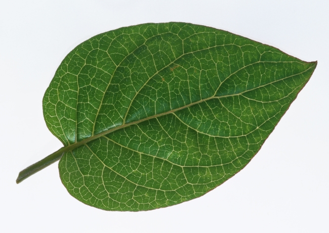 白底绿色植物手绘