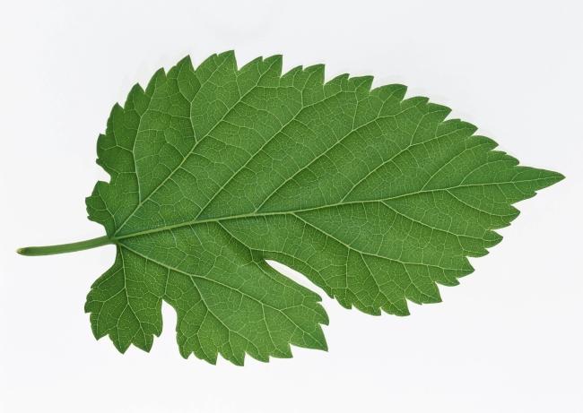 白底叶子树叶素材