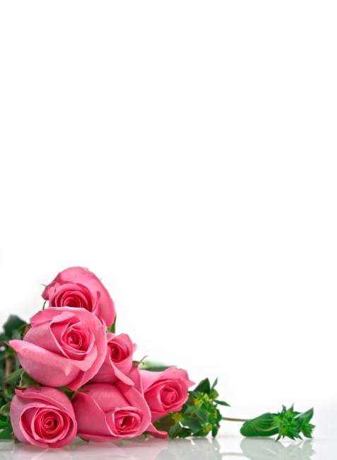 含苞待放的粉色玫瑰花高清图片