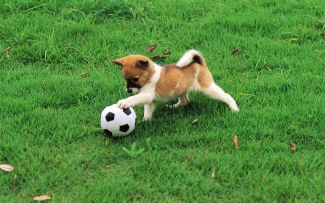 可爱小狗玩足球