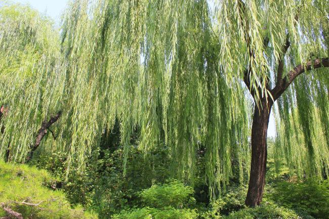 434 兆  植物 树木 柳树 绿叶 树枝 绿色 夏日