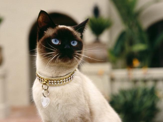 彩色简笔画高贵猫咪