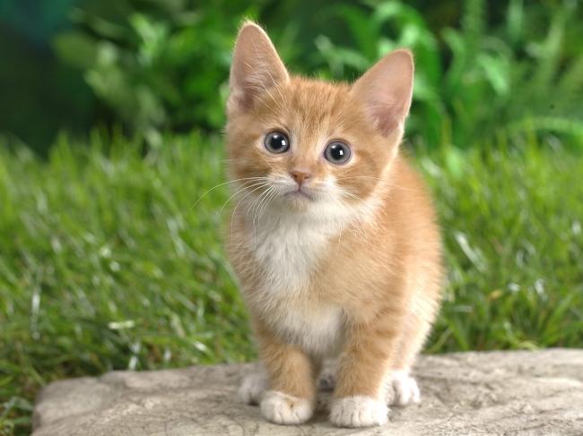壁纸 动物 猫 猫咪 小猫 桌面 650_487