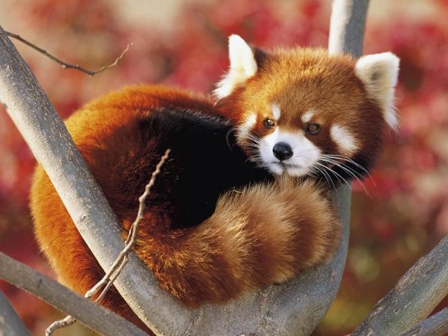图片名称:日本小熊猫