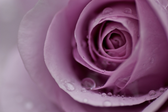 紫色玫瑰 紫玫瑰 高清摄影图片背景素材