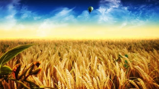 金黄色 秋季丰收作物 大草原 风景图片