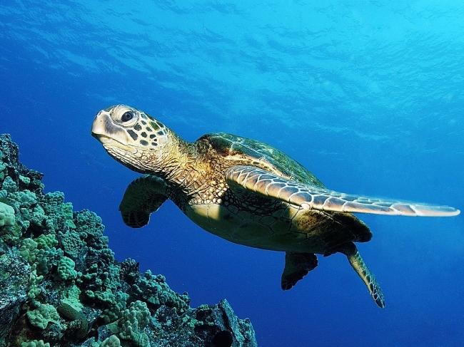 图片名称:绿海龟