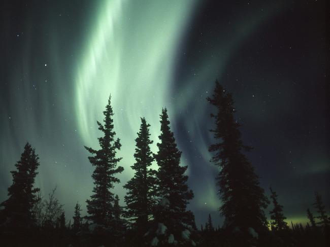 阿拉斯加 极光在云杉树林