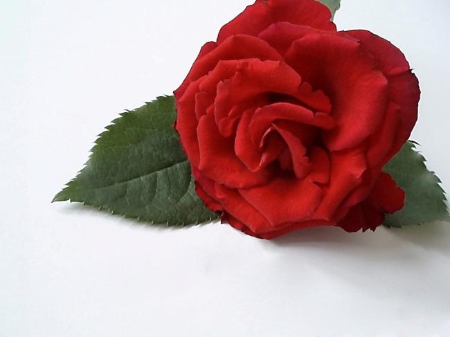 406 兆  一朵玫瑰 红色玫瑰 红色 玫瑰花 水滴 爱情 浪漫 花束