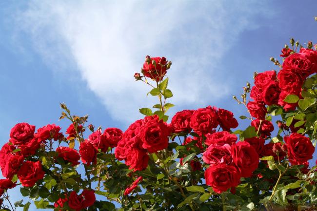 蓝天下的玫瑰花