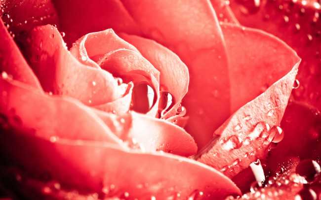 >玫瑰花 花朵图片