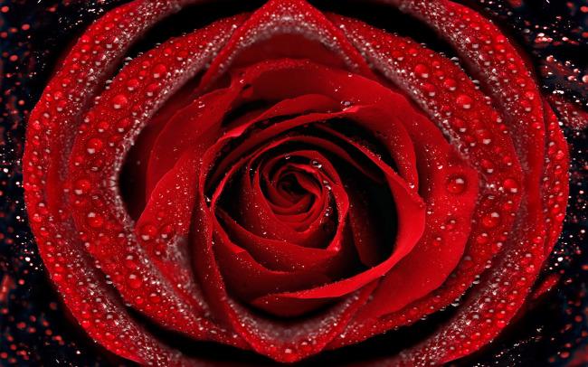 一朵红玫瑰花背景图图片