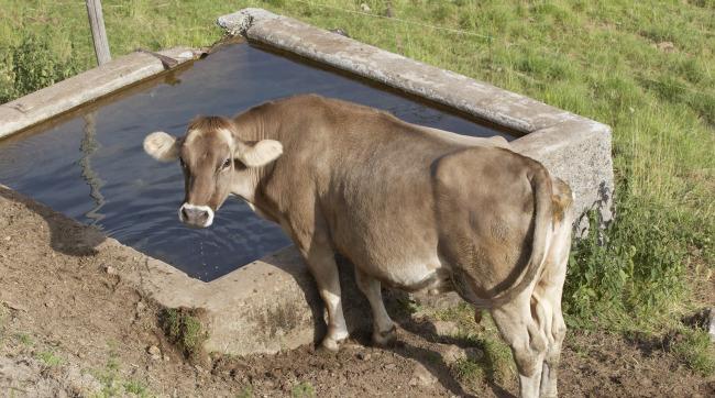阿尔卑斯山的动物牛