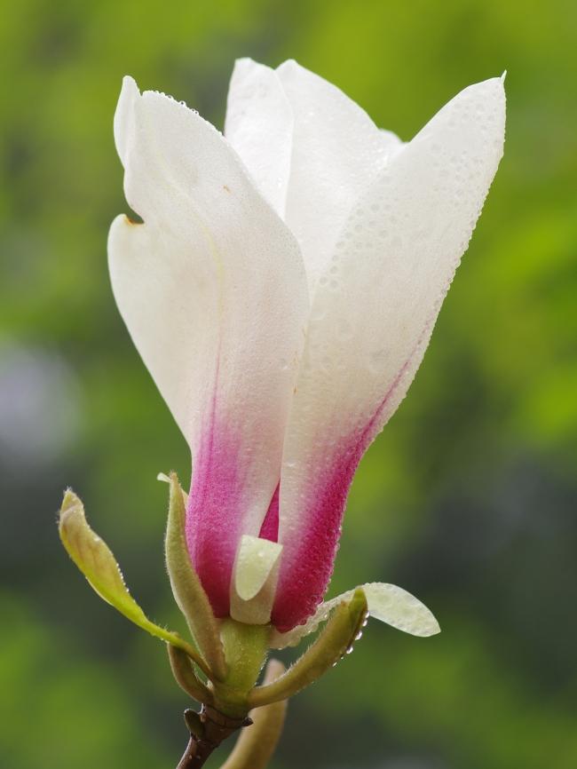 玉兰花图片素材 玉兰花设计素材 玉兰花摄影作品 玉兰花源文件下载
