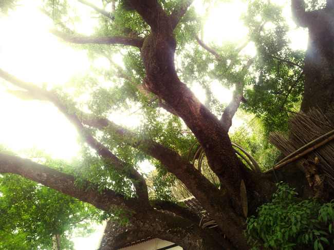 木城的千年古榕树